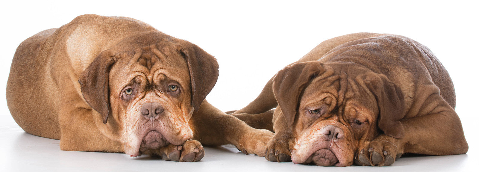 care old dogue de bordeaux