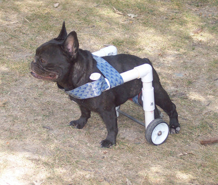 wheelchair French bulldog