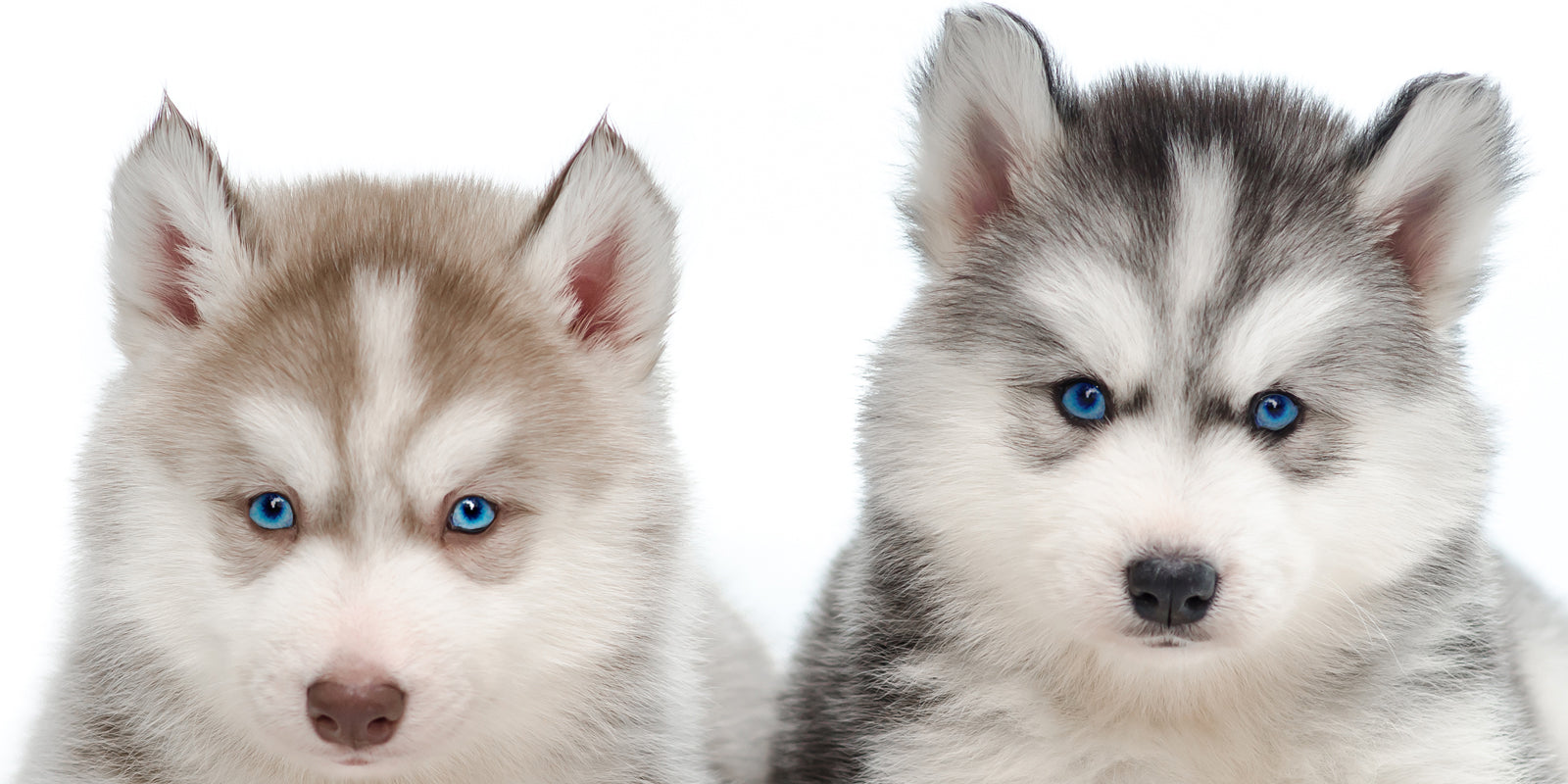 husky-puppies