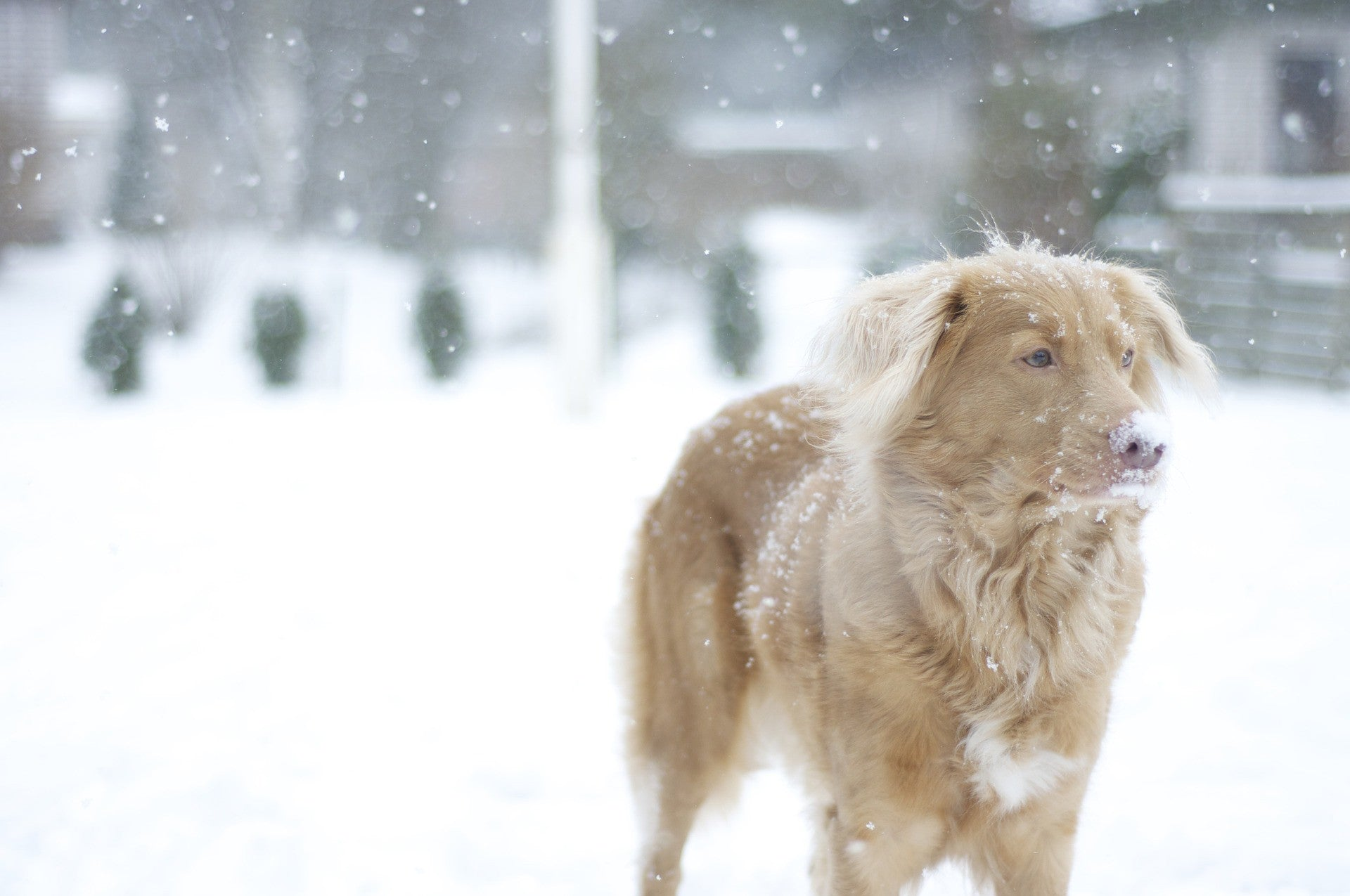 nova scotia duck tolling retriever in snow