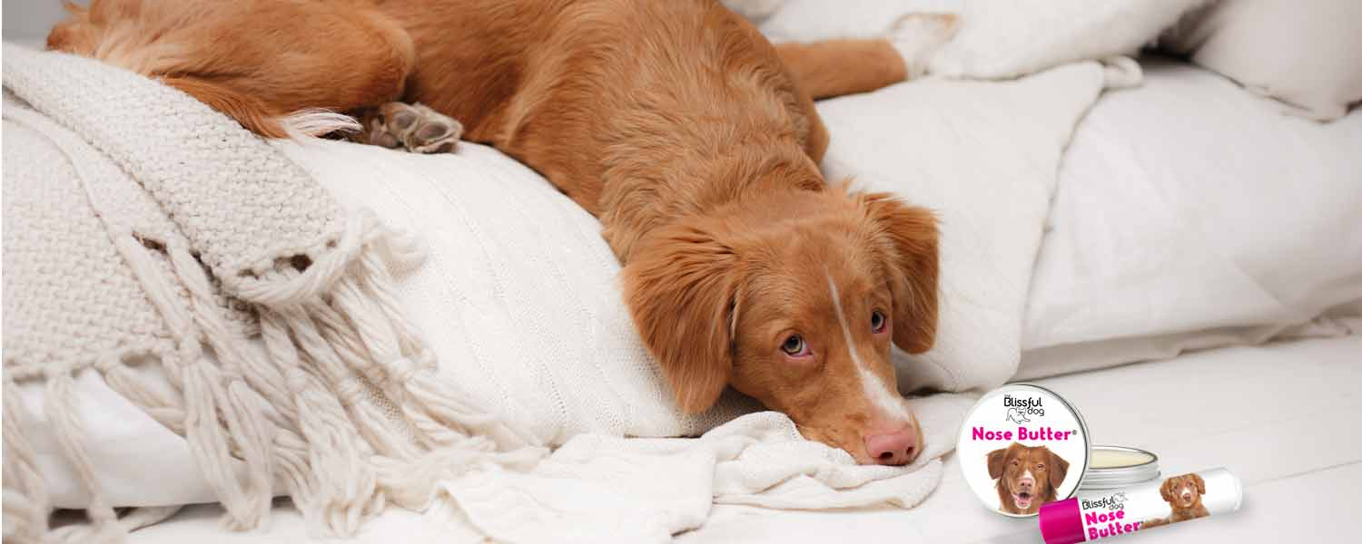 Nova Scotia Duck Tolling Retriever in bed