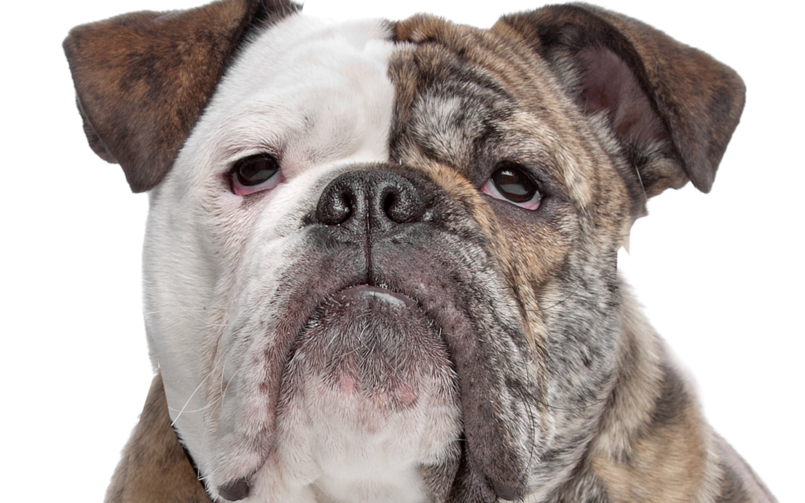 Are Olde English Bulldogge Good With Other Dogs