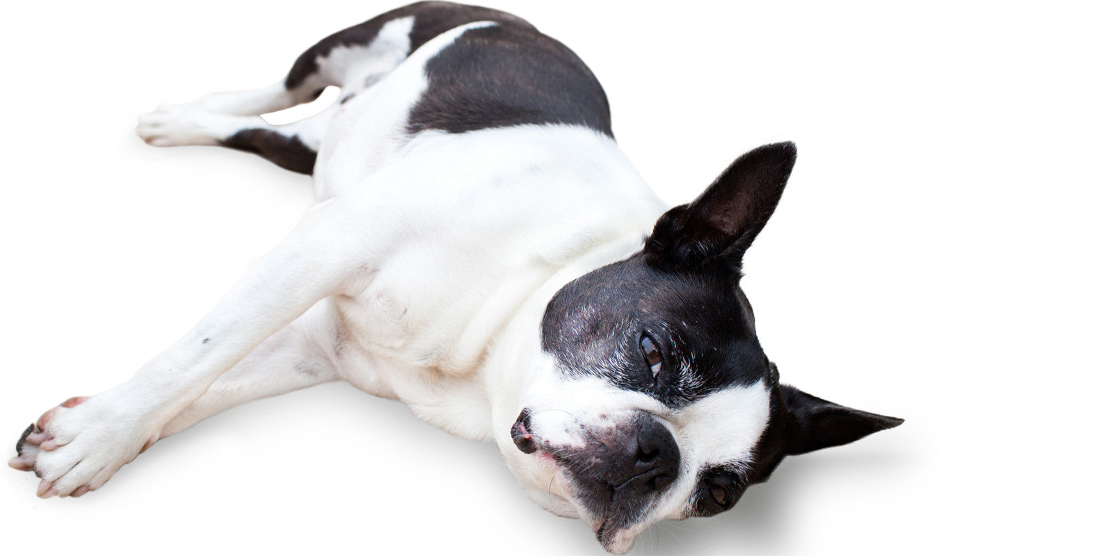 age well senior boston terrier aromatherapy