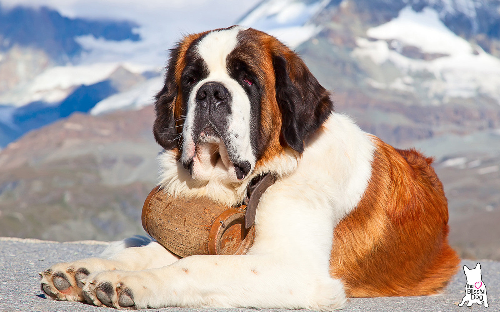 st bernard in alps
