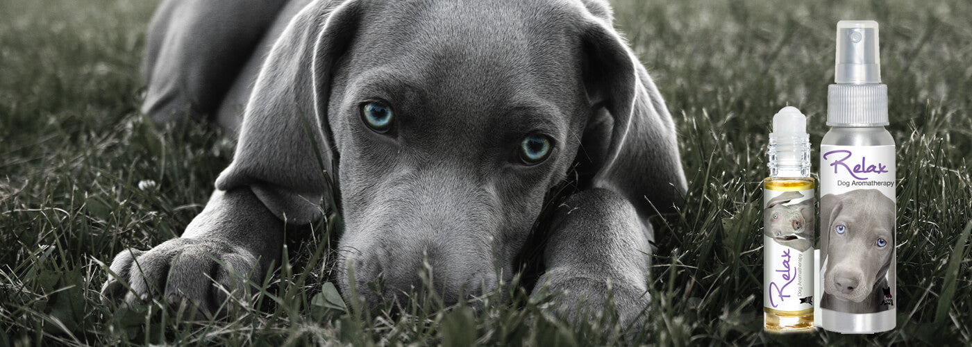 weimaraner afraid thunder