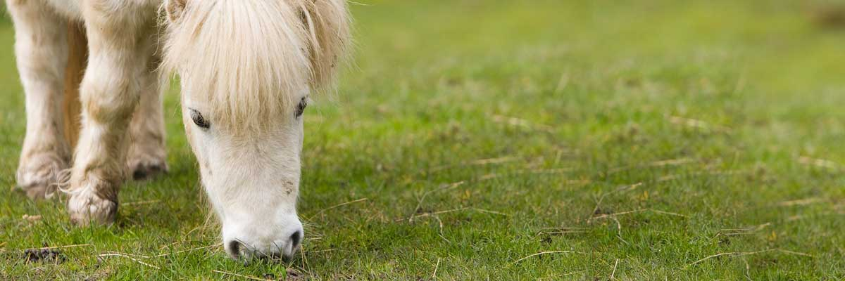 why-dogs-eat-horse-poo