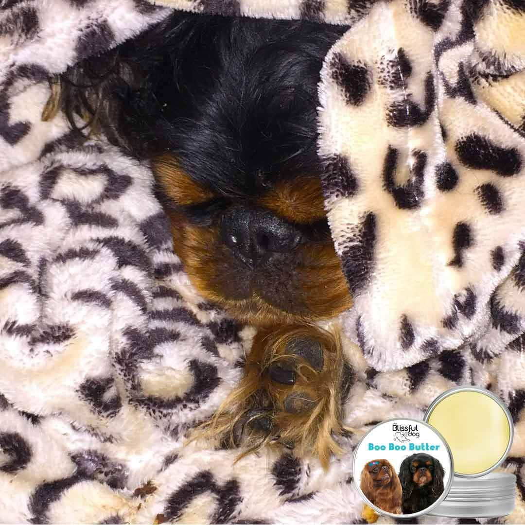 black tan English toy spaniel