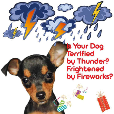 miniature pinscher afraid of thunder