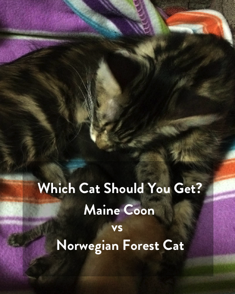 Which cat should you get? - Maine Coon vs Norwegian Forest Cat
