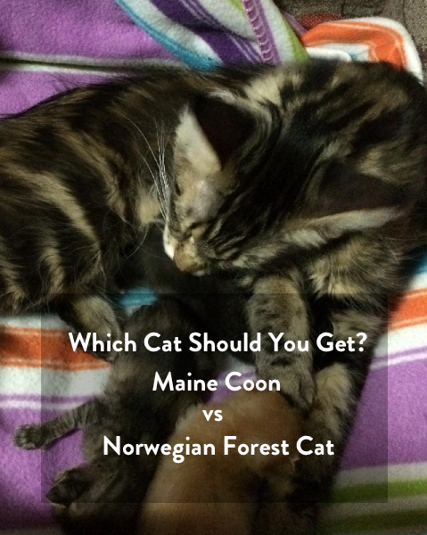 Which pet should you get? - Maine Coon vs Norwegian Forest Cat