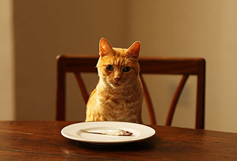 cat with no appetite