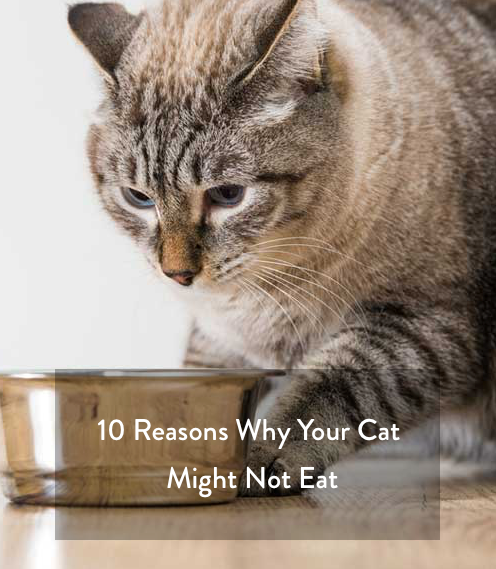 Cat not eating food