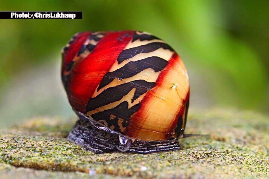 Rarest aquatic snail in the world!