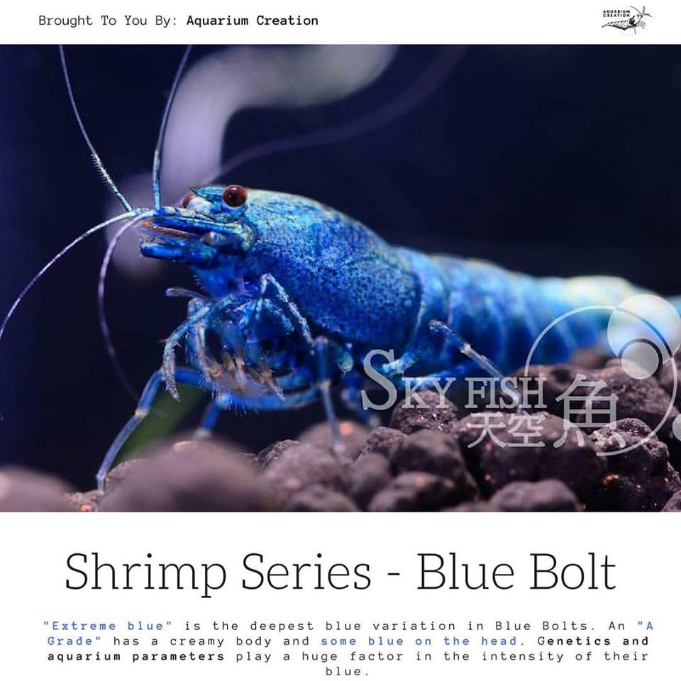 Shrimp Series - Blue Bolt