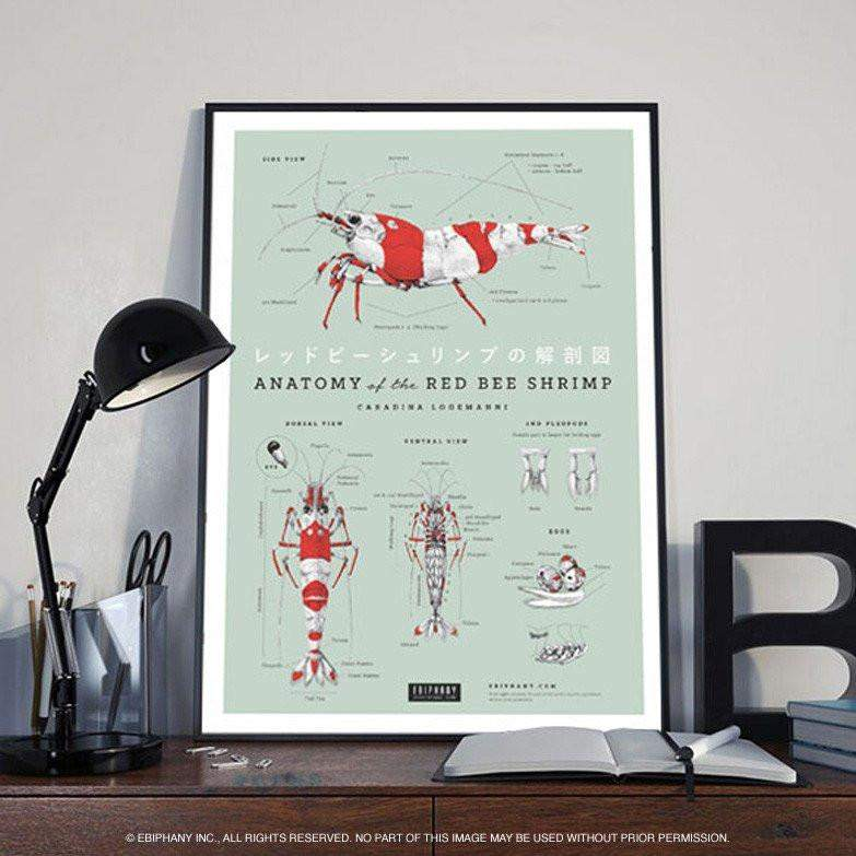Ebiphany - ANATOMY OF THE RED BEE SHRIMP POSTER – Aquarium Creation