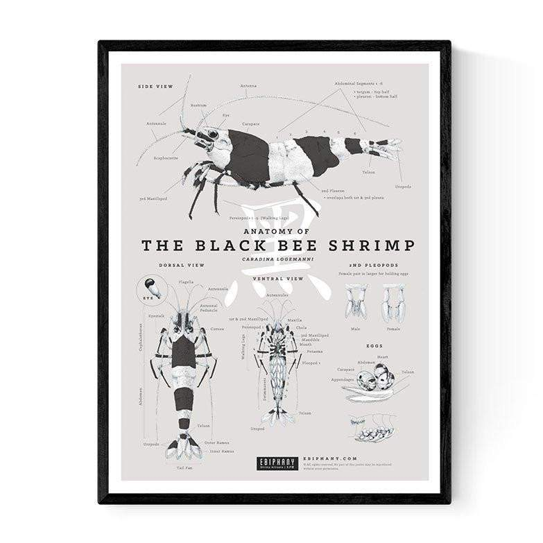 Ebiphany - ANATOMY OF THE BLACK BEE SHRIMP POSTER – Aquarium Creation
