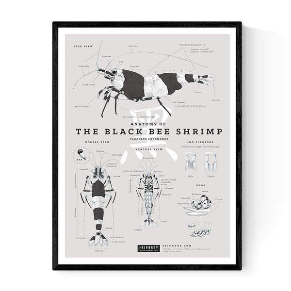 Ebiphany - ANATOMY OF THE BLACK BEE SHRIMP POSTER