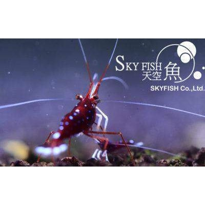 (10) Sky Fish Sulawesi White Spot Red Bee