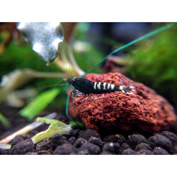 (5) Black Zebra Pintos - Shrimp - Aquarium Creation