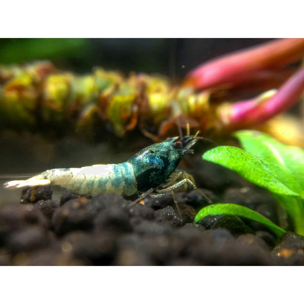 Blue Steel Shrimp - Shrimp - Aquarium Creation
