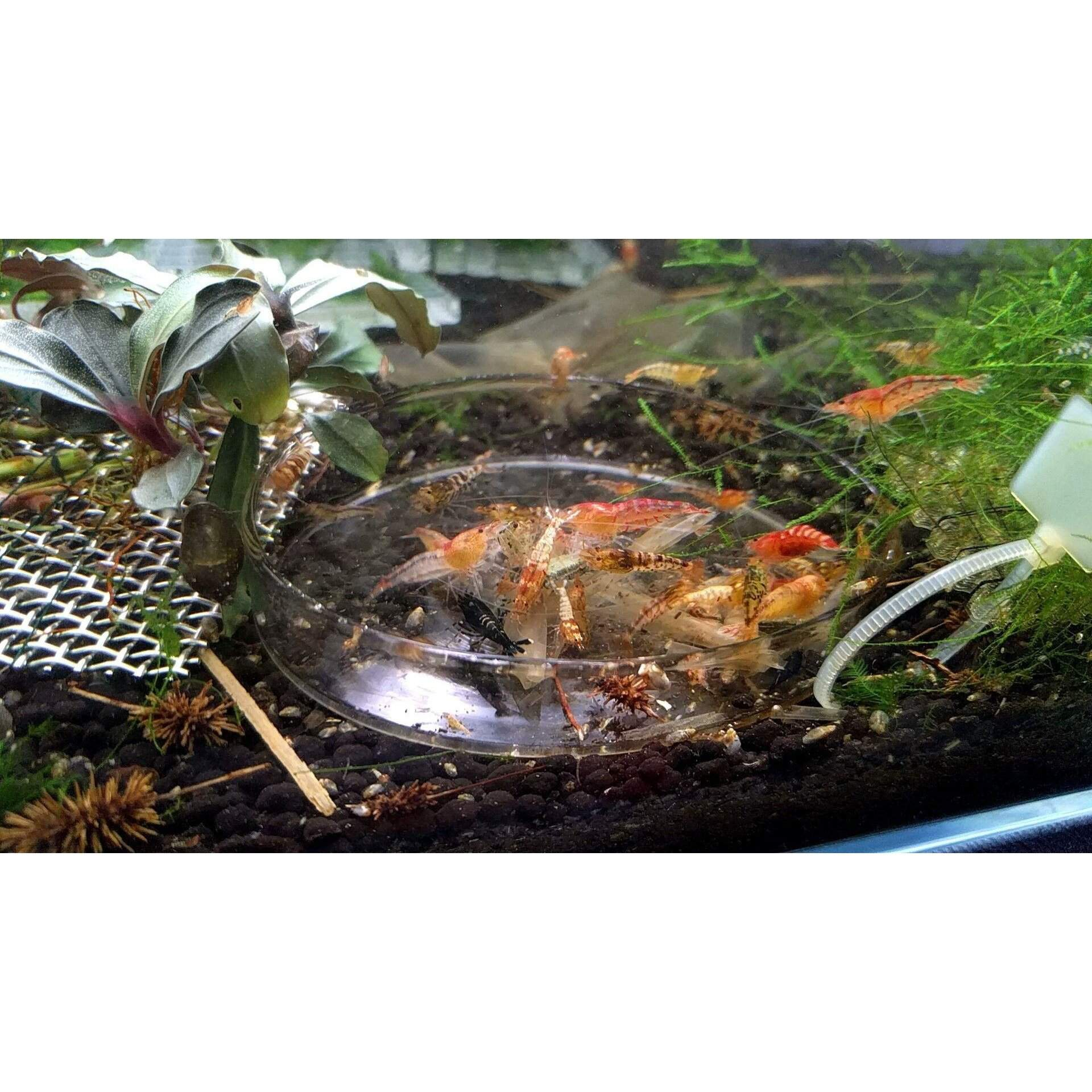 Accessories - Shrimp Feeding Dish (Glass)