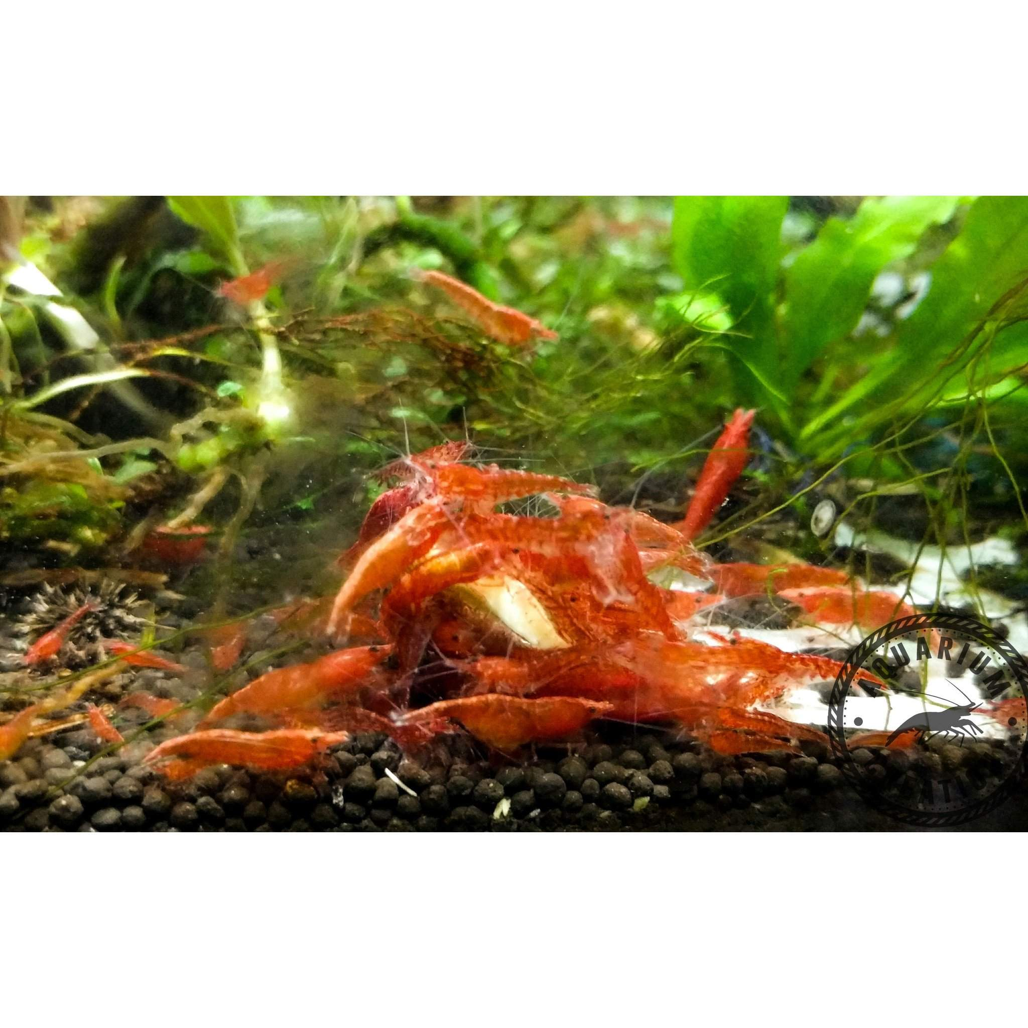 (10) Red Cherry Shrimp - Shrimp - Aquarium Creation