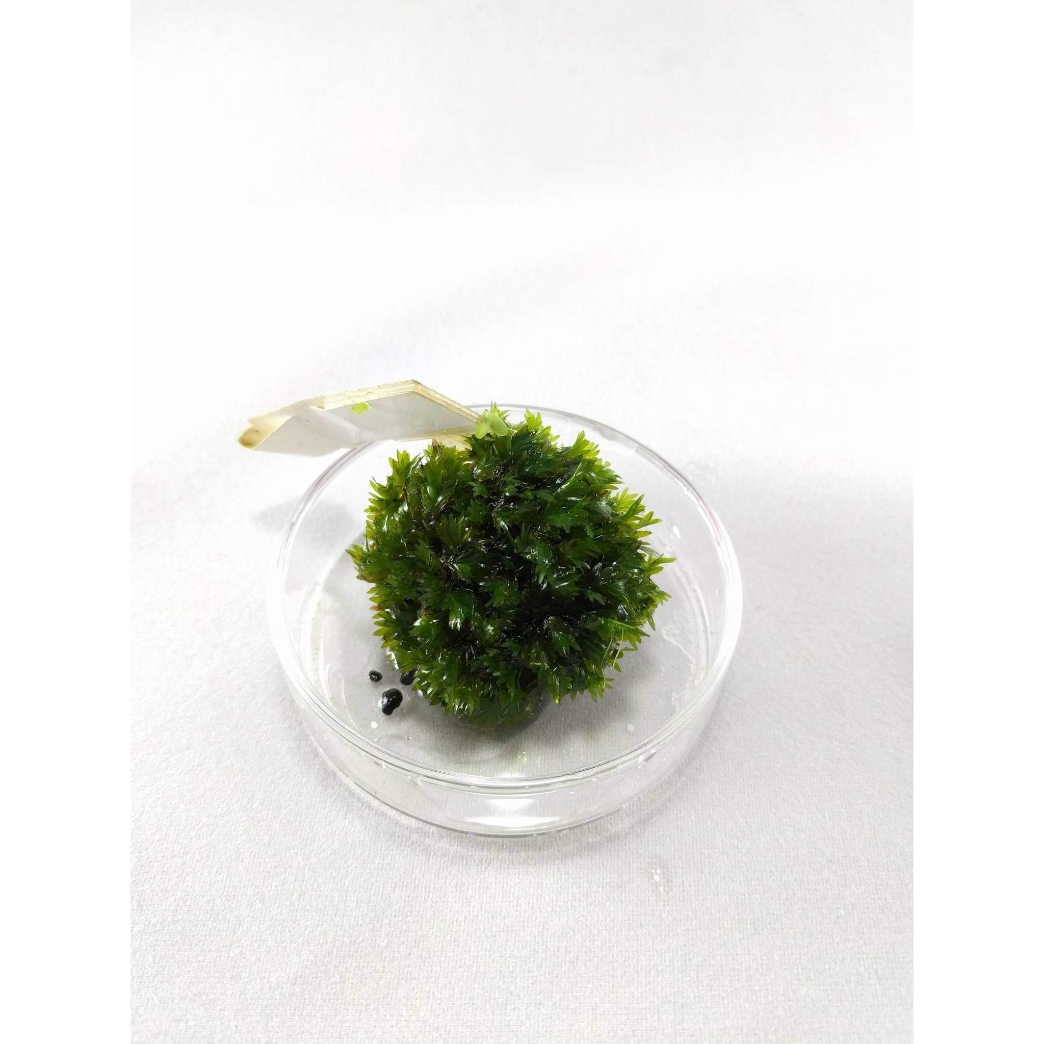 Plant - Fissidens Sp. Miroshaki Moss (Extremely Rare)