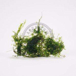 Plant - Flame Moss