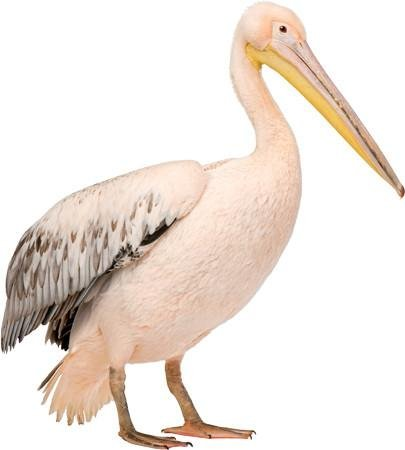 WSD203 - White Pelican bird large photo wall sticker - Art Fever - Art Fever