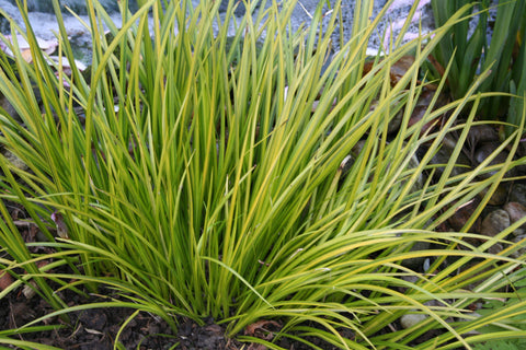 Picture of Grasses for Shady Places