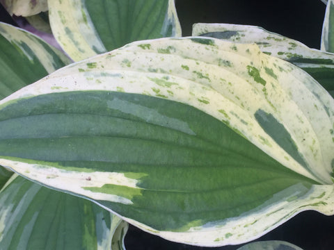 Image of Hosta 'Independence' - Plantain lily variety