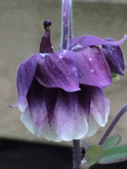 Image of Aquilegia vulgaris var. flore-pleno 'Double Pleat' Blue/White-flowered - Columbine variety, Granny's bonnet variety