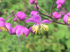 Image of Thalictrum 'Splendide'