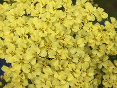 Image of Achillea millefolium 'Summer Fruits Lemon' (Summer Fruits Series) - Yarrow variety