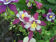 Image of Aquilegia flabellata 'Vermont' (State Series) - Columbine variety, Granny's bonnet variety