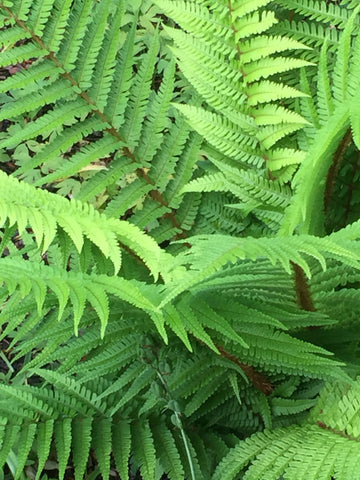 Image of Dryopteris wallichiana [AGM] - Alpine wood fern