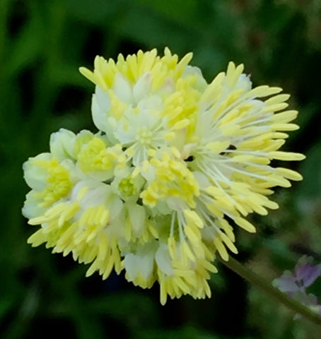 Image of Thalictrum flavum subsp. glaucum [AGM] - Glaucous-leaved yellow meadow rue