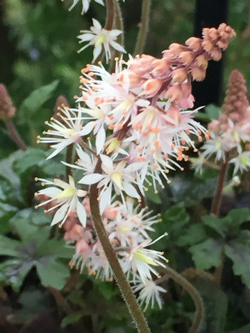 Image of Tiarella 'Spring Symphony' (PBR) - Foam flower variety