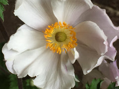 Image of Anemone 'Dreaming Swan' - Wind flower variety