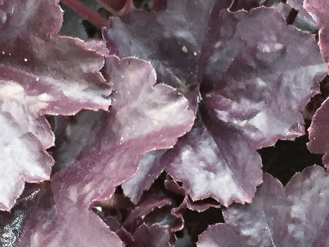 Image of Heuchera 'Obsidian' (PBR)