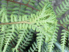 Image of Athyrium 'Ocean's Fury'