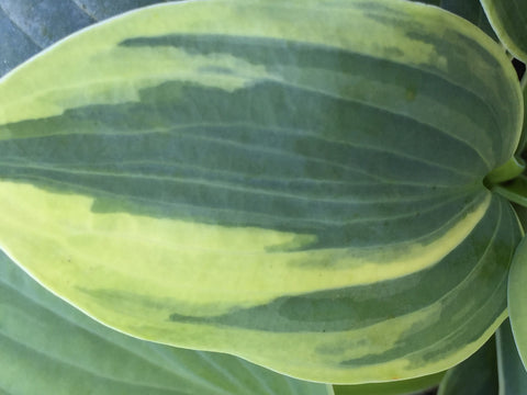 Image of Hosta (Tardiana Group) 'Aristocrat' - Plantain lily variety