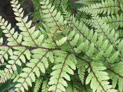 Image of Athyrium otophorum var. okanum [AGM] - Eared lady fern, Auriculate lady fern
