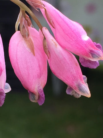 Image of Dicentra formosa 'Spring Magic' - Bleeding heart variety