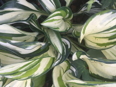 Image of Hosta 'Fireworks' [AGM] - Plantain lily variety