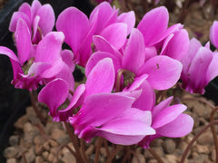 Image of Cyclamen hederifolium [AGM] - Ivy-leaved cyclamen