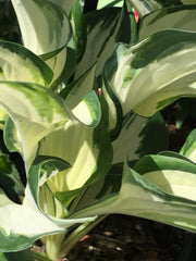 Image of Hosta 'Fire and Ice' [AGM] - Plantain lily variety