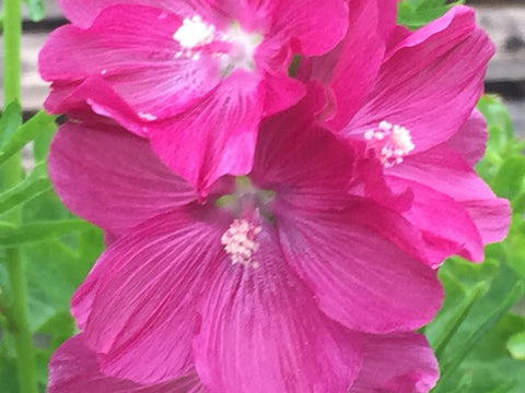 Image of Sidalcea 'William Smith' [AGM] - Prairie mallow variety