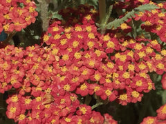 Image of Achillea 'Walther Funcke' - Yarrow variety
