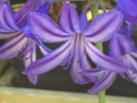 Image of Agapanthus 'Northern Star' - Nile lily variety